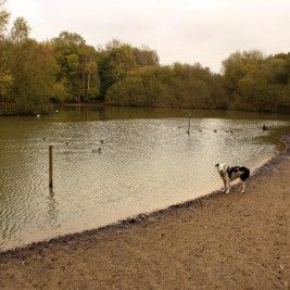 London Dog Walks on Wimbledon Common