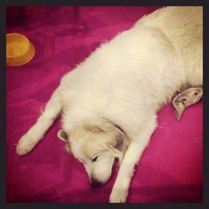 The (rather tired) Pyrenean Mountain Dog at Discover Dogs 2014
