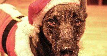 The Dogvine Wordless Wednesday - Santa & his Helper