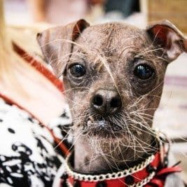 London Pet Show 2015 - Mugley, Worlds Ugliest Dog