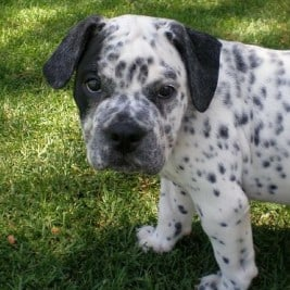 Test Your Dog Knowledge With The Crossbreed Generator