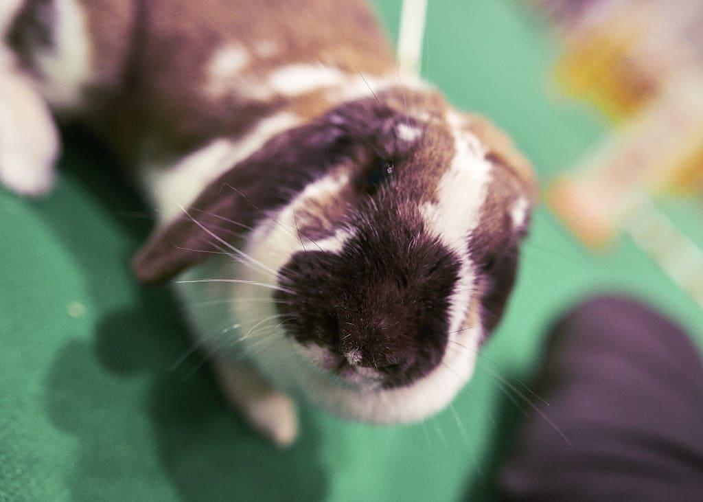 National Pet Show London 2016 - Rabbit