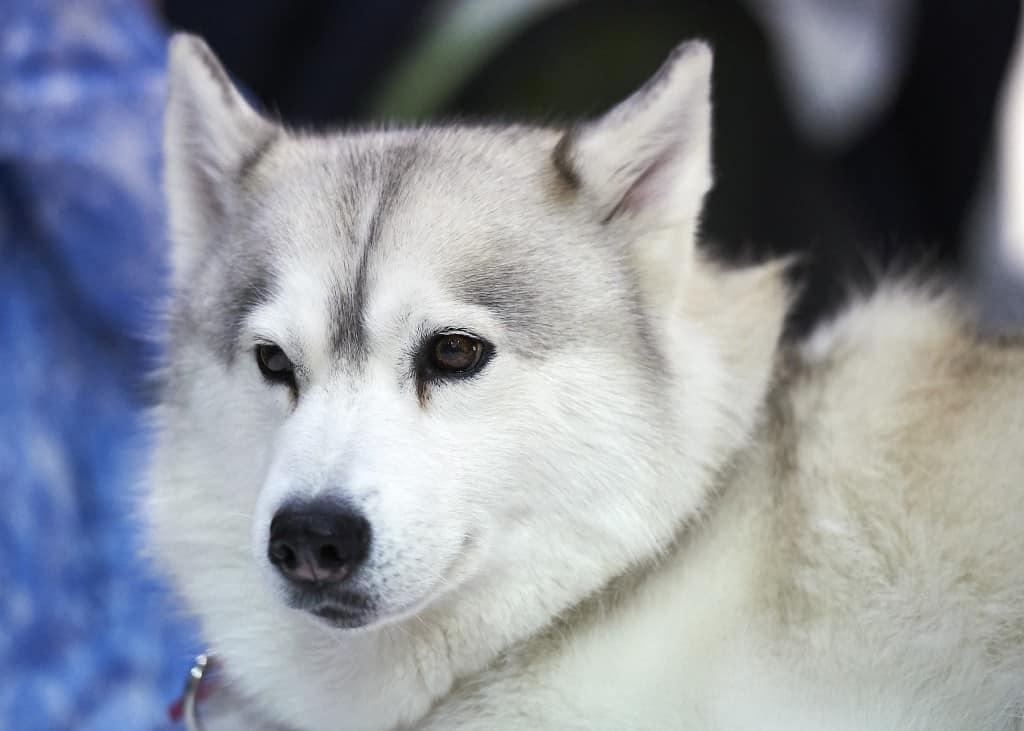 National Pet Show London 2016 - Husky