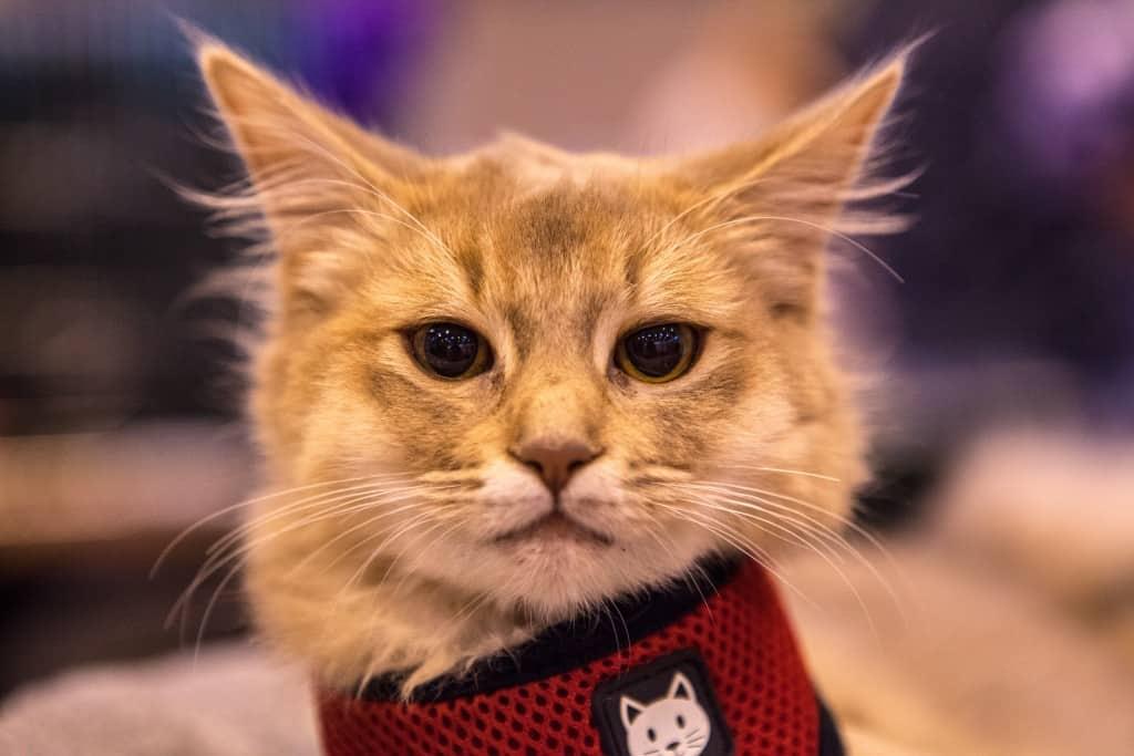 National Pet Show London 2016 - Cat