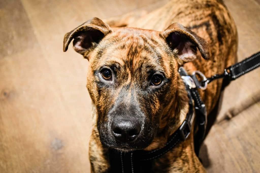 Barker - London Dog Rescue