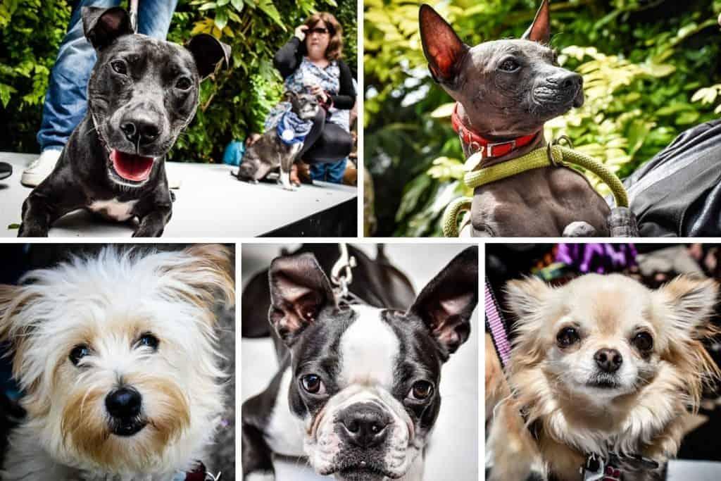 Pup Idol 2016 6