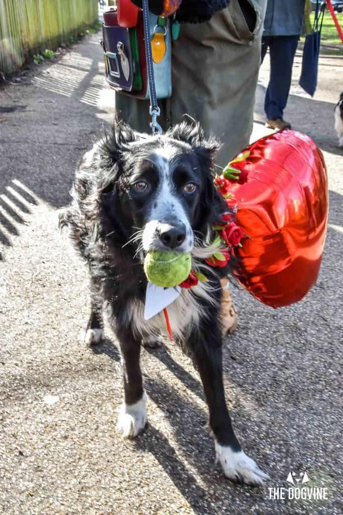 London Dogs Celebrate Valentines Day On The All Dogs Matter Valentines Walk - London Dog Event 46