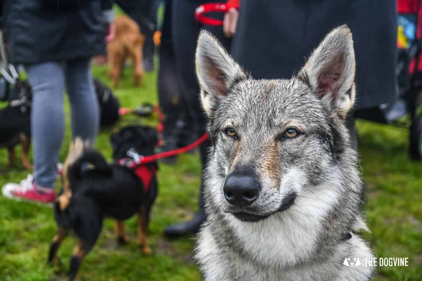 London Dogs At The Great Hampstead Bark Off 2018 189