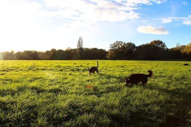 London Dog Walks – Barnes & Putney Commons