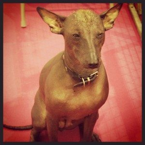 Mexican Hairless Dog at Discover Dogs 2014