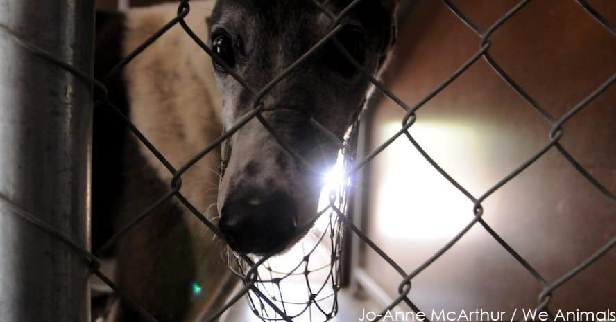 The End of Greyhound Racing in Wimbledon?