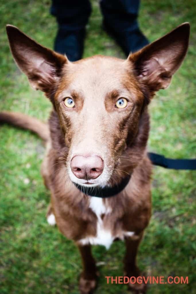Dog Rescue Ex Puppy Farm