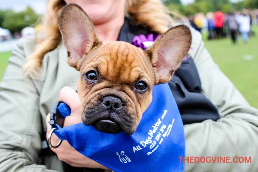 Ernest an ex-All Dogs Matter Dog at PupAid 2015