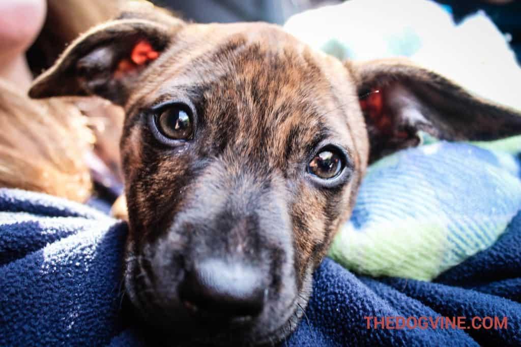 Rosie - All Dogs Matter Valentines Day Dog Walk 2016