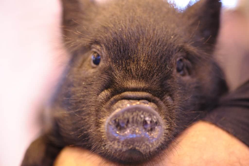National Pet Show London 2016 - Pig