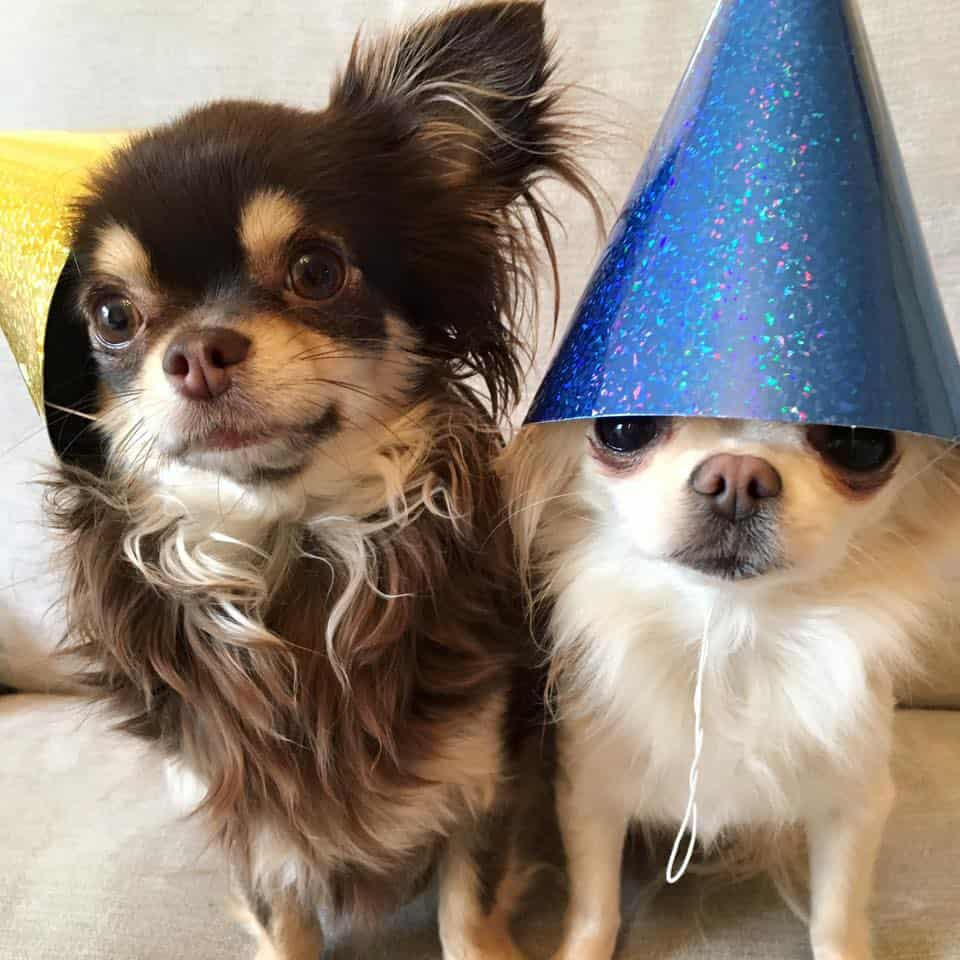Roc and Indie - Haus of Chihuahuas