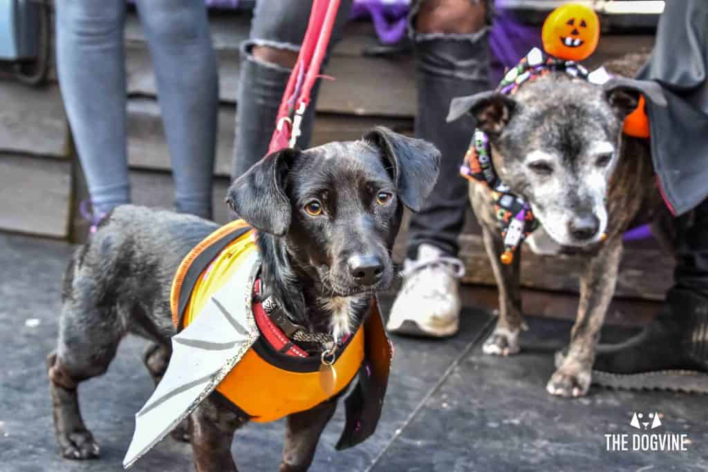 All Dogs Matter Halloween Walk and Show 2017 51