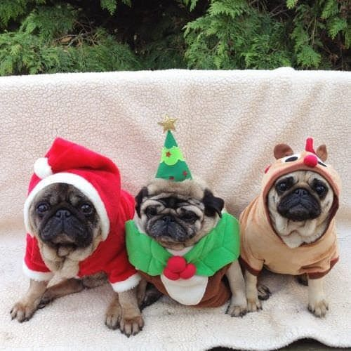 Pugs & Pals Christmas Party