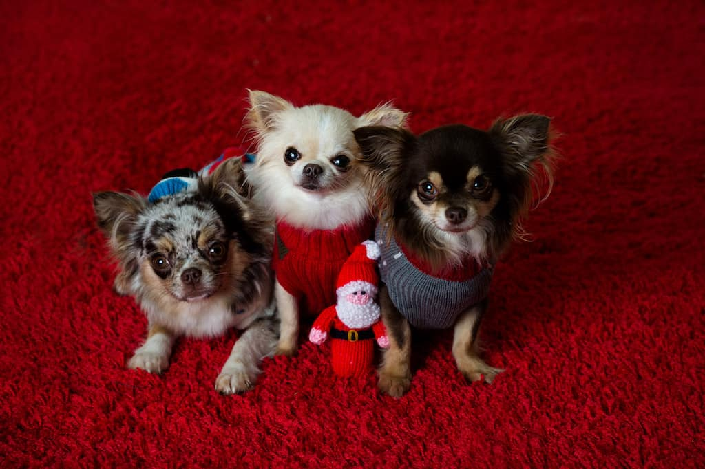 Rhapsody, Indie, Rocco - Fest of Chihuahuas - Christmas Spectacular Chis