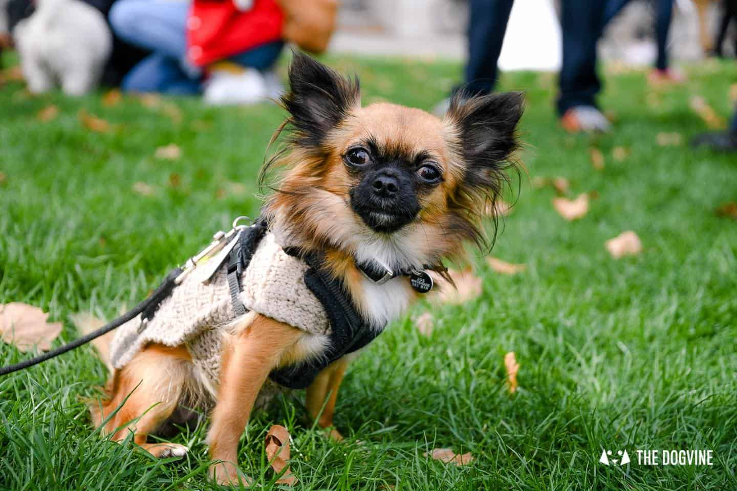 The London Dog Meetups Guide For You And Your Dog - Chihuahuas