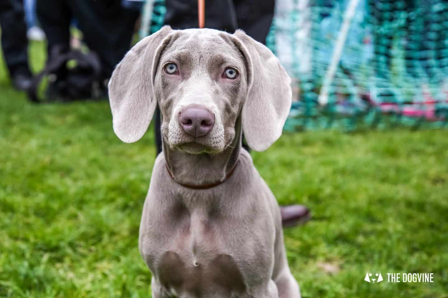 London Dogs At The Great Hampstead Bark Off 2018 29