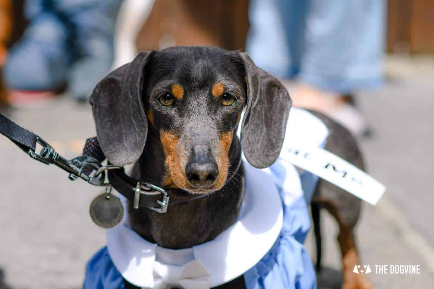 London's Best Dressed Dachshunds At Sausage Social London The Mad Hatters Tea Party 135