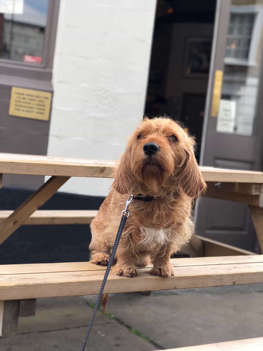 My Dog Friendly London By Amber The Basset Fauve De Bretagne - Albert Arms 2