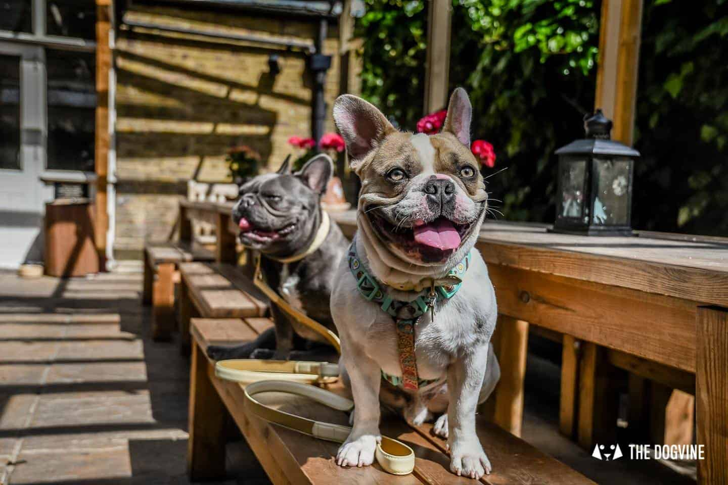 My Dog Friendly London By Herbie and Dave The Frenchies 16