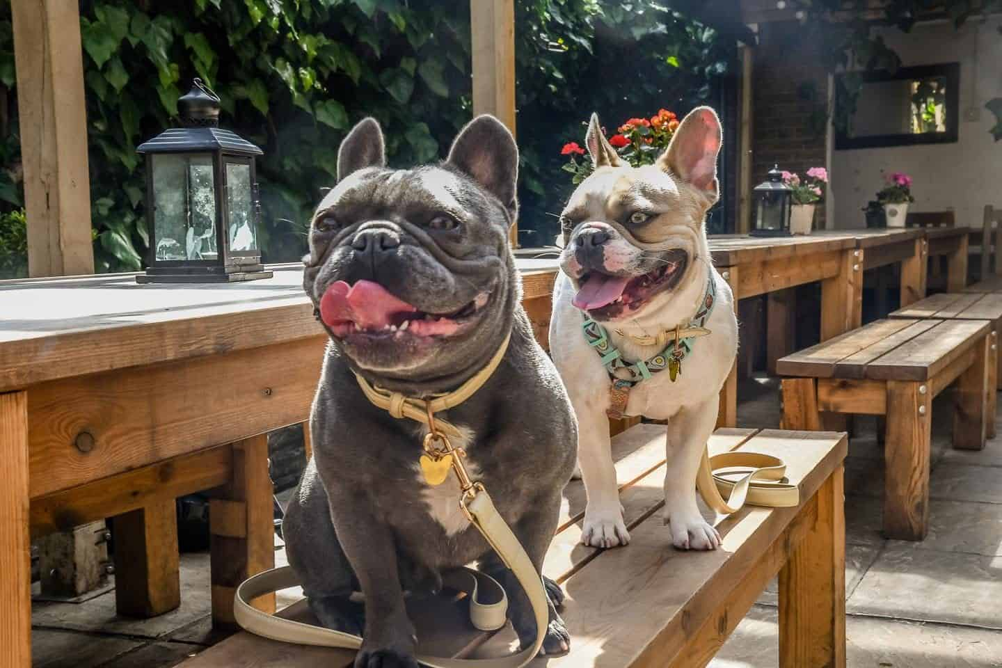 My Dog Friendly London By Herbie and Dave The Frenchies | Balham
