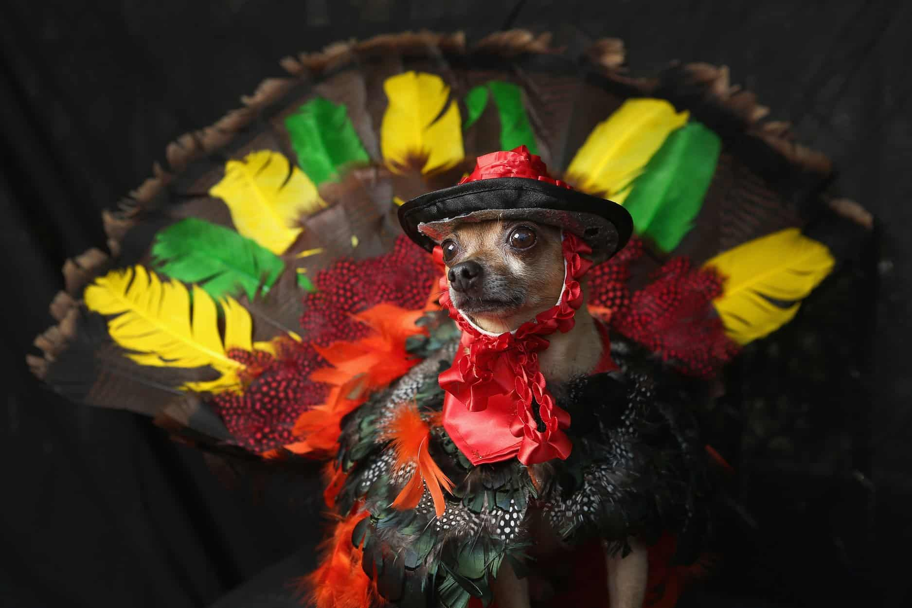 Fest of Chihuahuas Mexican Fiesta Cover