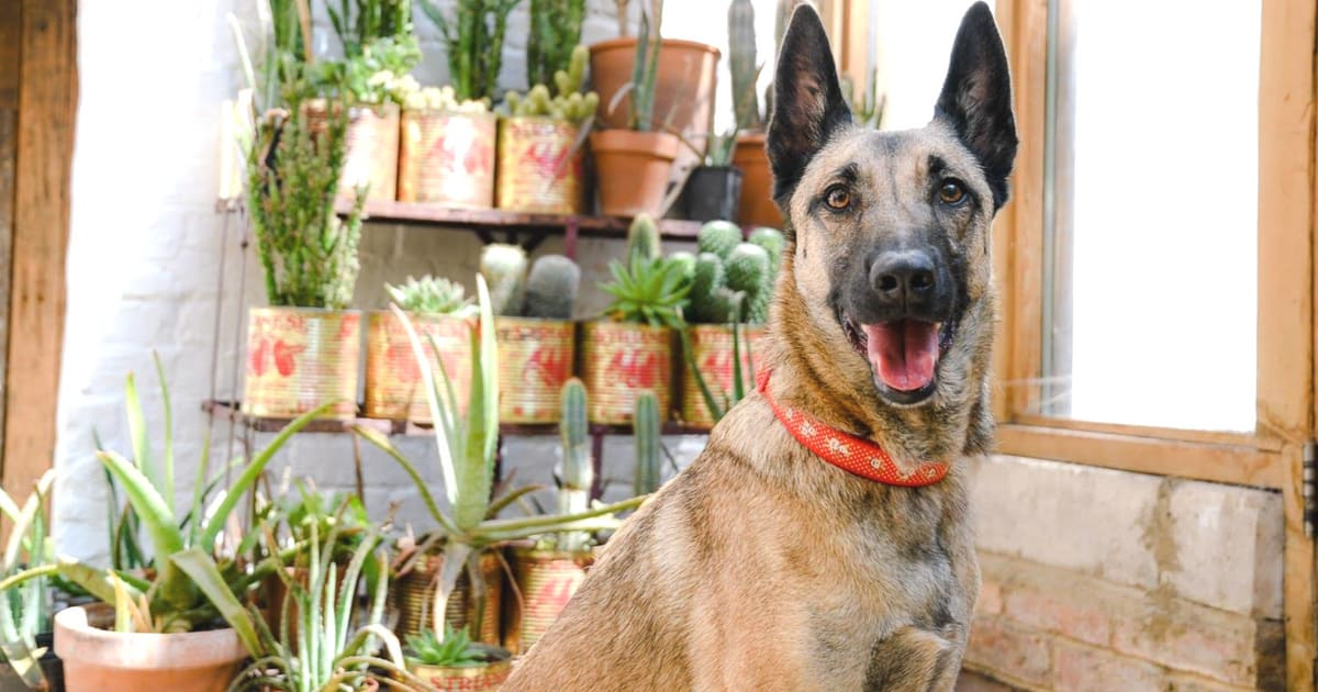 My Dog Friendly London Dalston & Hackney | Lyra the Malinois