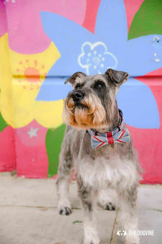 My Dog Friendly London By Pepper Chung the Schnauzer - Dog Friendly Notting Hill 14