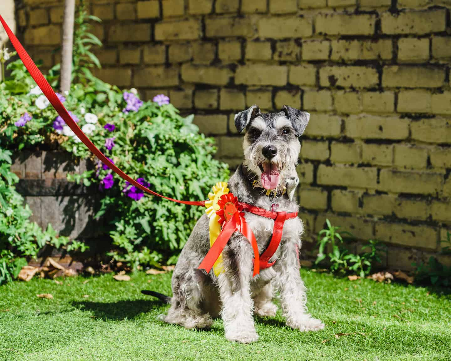 My Dog Friendly London By Rusty Red The Schnauzer Dog Friendly Shoreditch and Hoxton Charity Dog Show