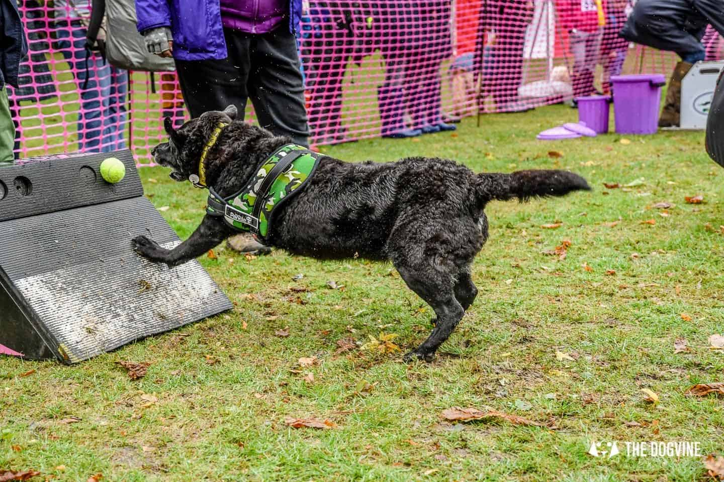 The Chiswick House Dog Show Womballs Flyball 1