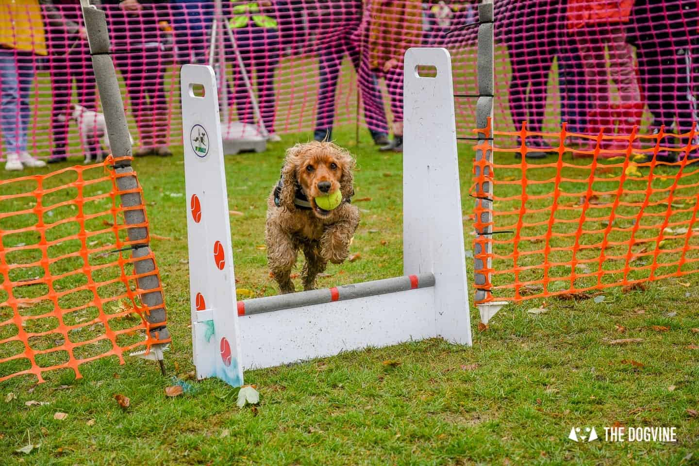 The Chiswick House Dog Show Womballs Flyball 14