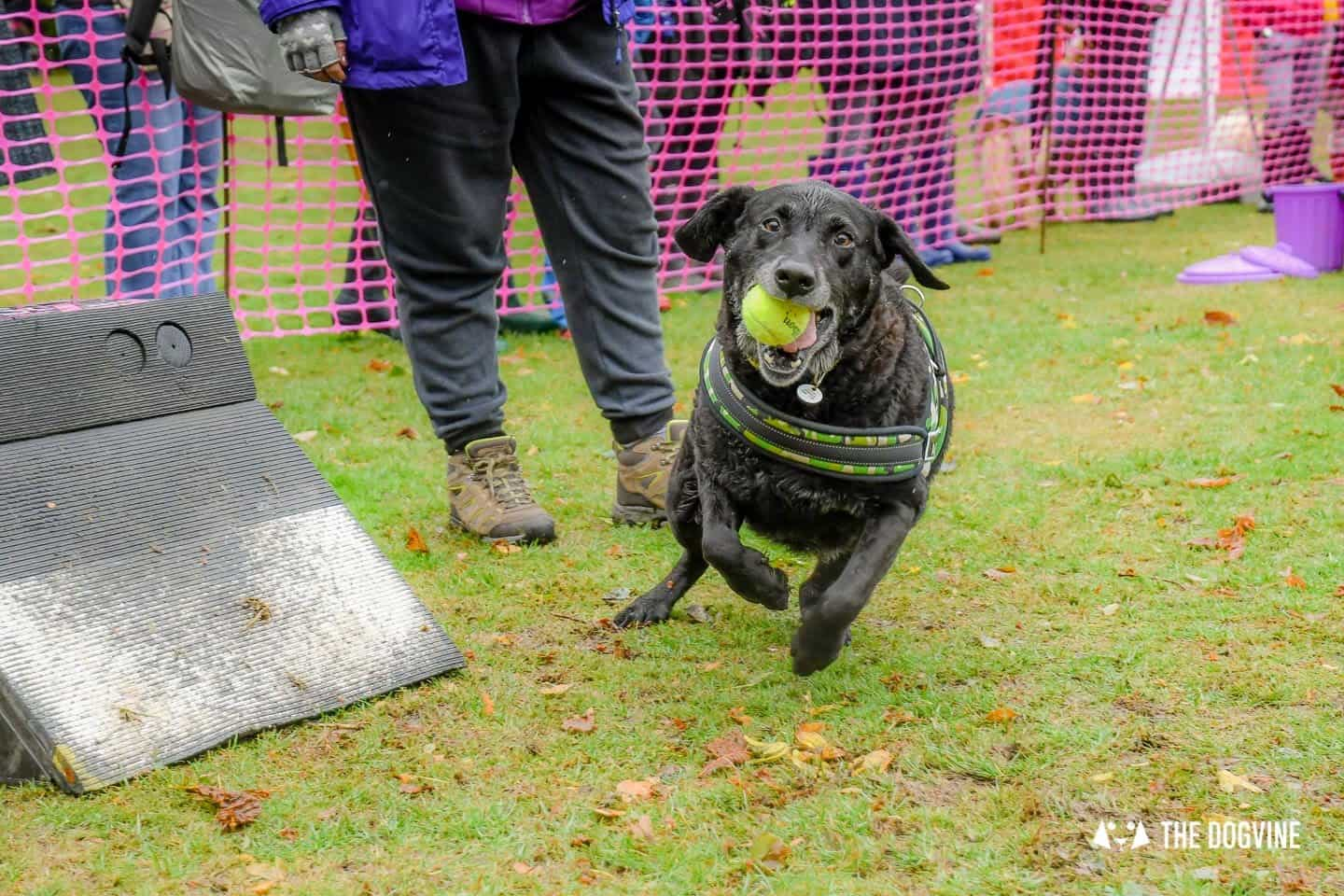 The Chiswick House Dog Show Womballs Flyball 2