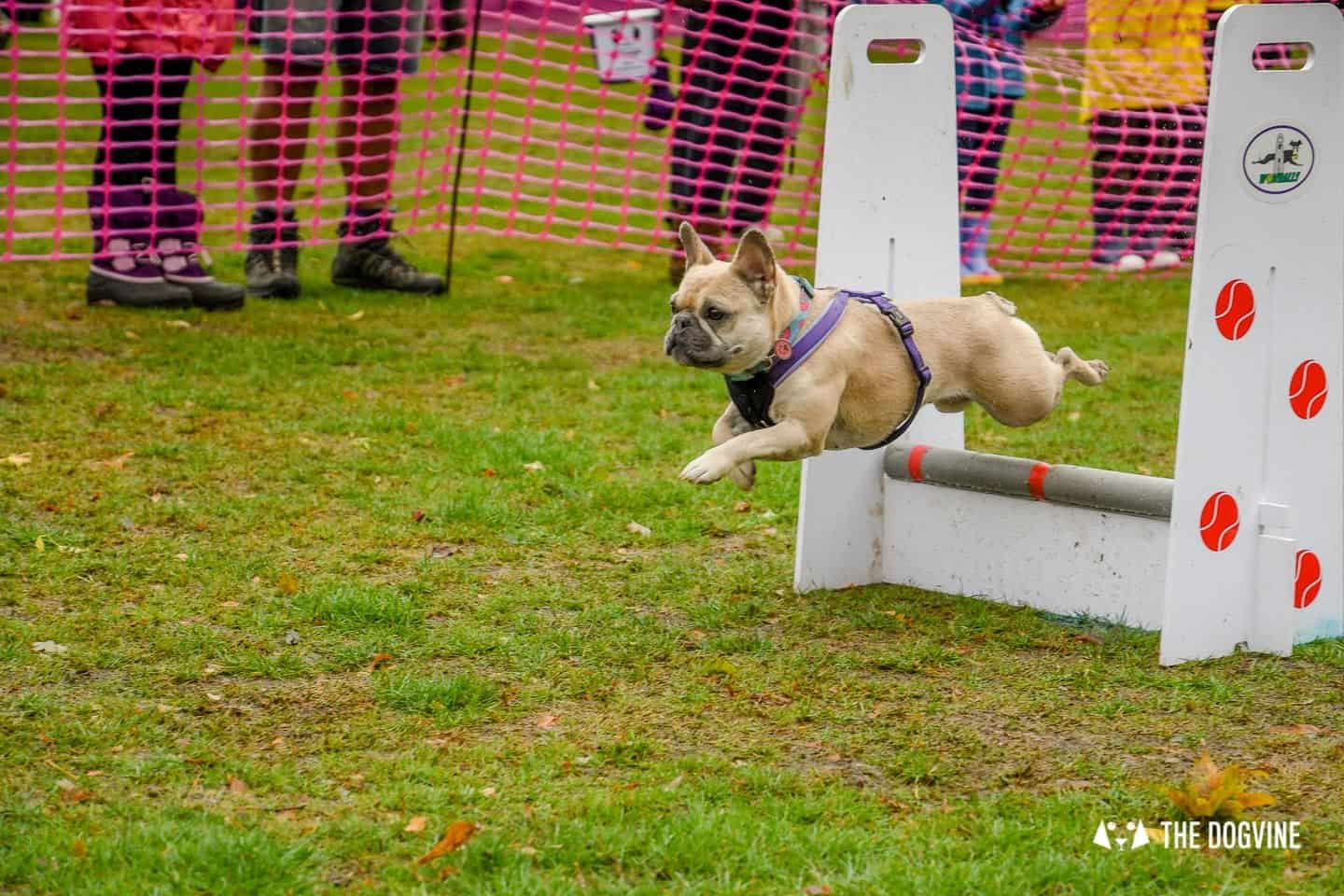 The Chiswick House Dog Show Womballs Flyball 3