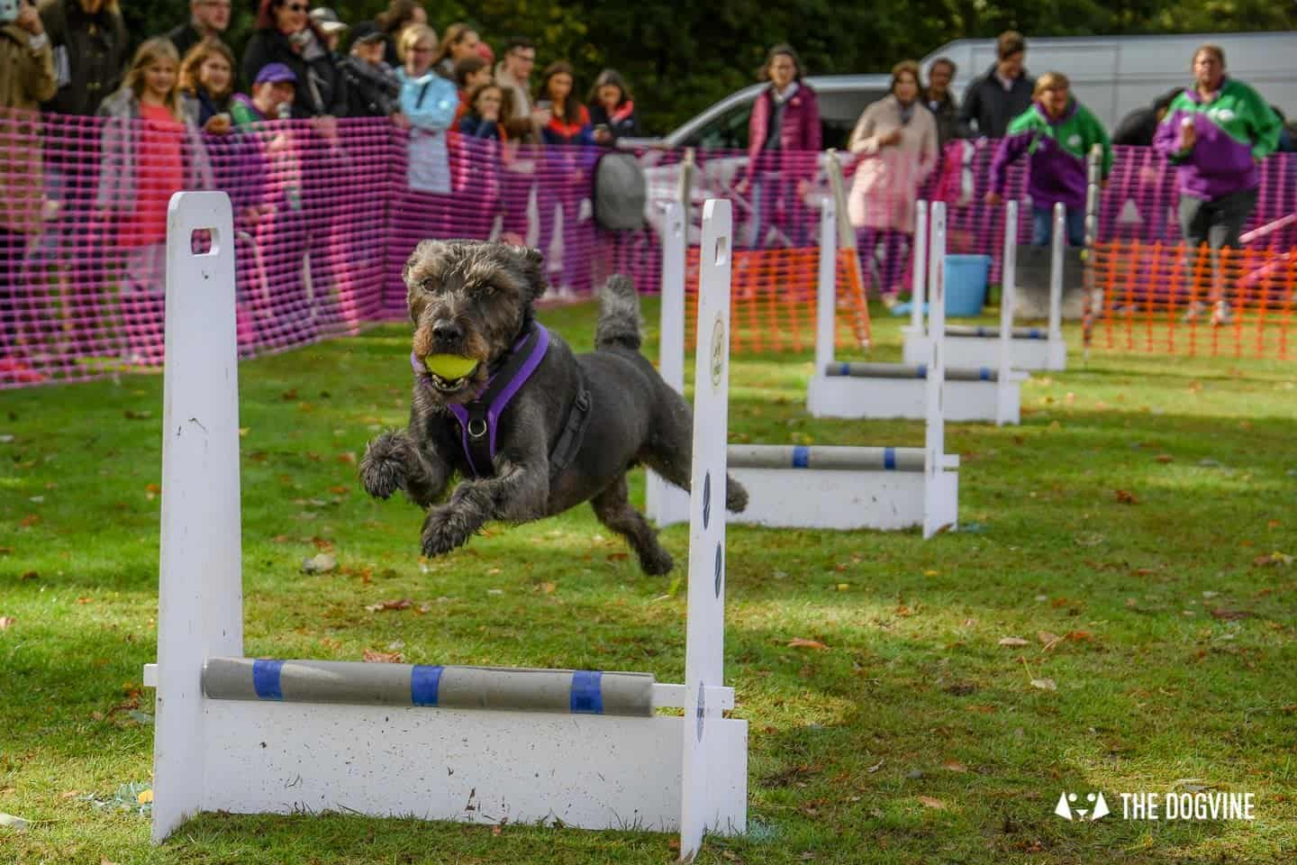 The Chiswick House Dog Show Womballs Flyball 5