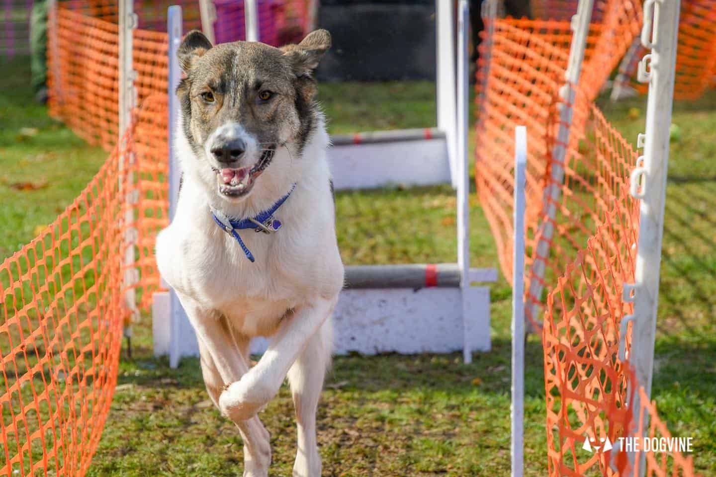 The Chiswick House Dog Show Womballs Flyball 8