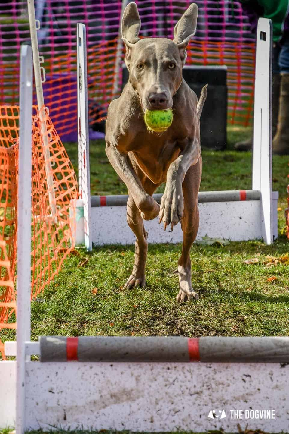 The Chiswick House Dog Show Womballs Flyball 9