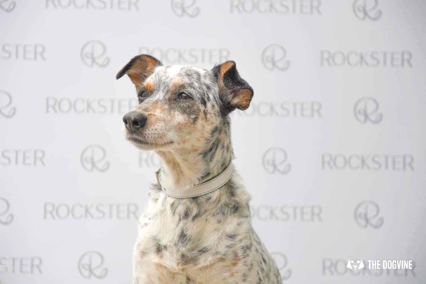 Crossbreeds & Rescue Dogs in the Spotlight at the Crossbreed Café - The Rockster