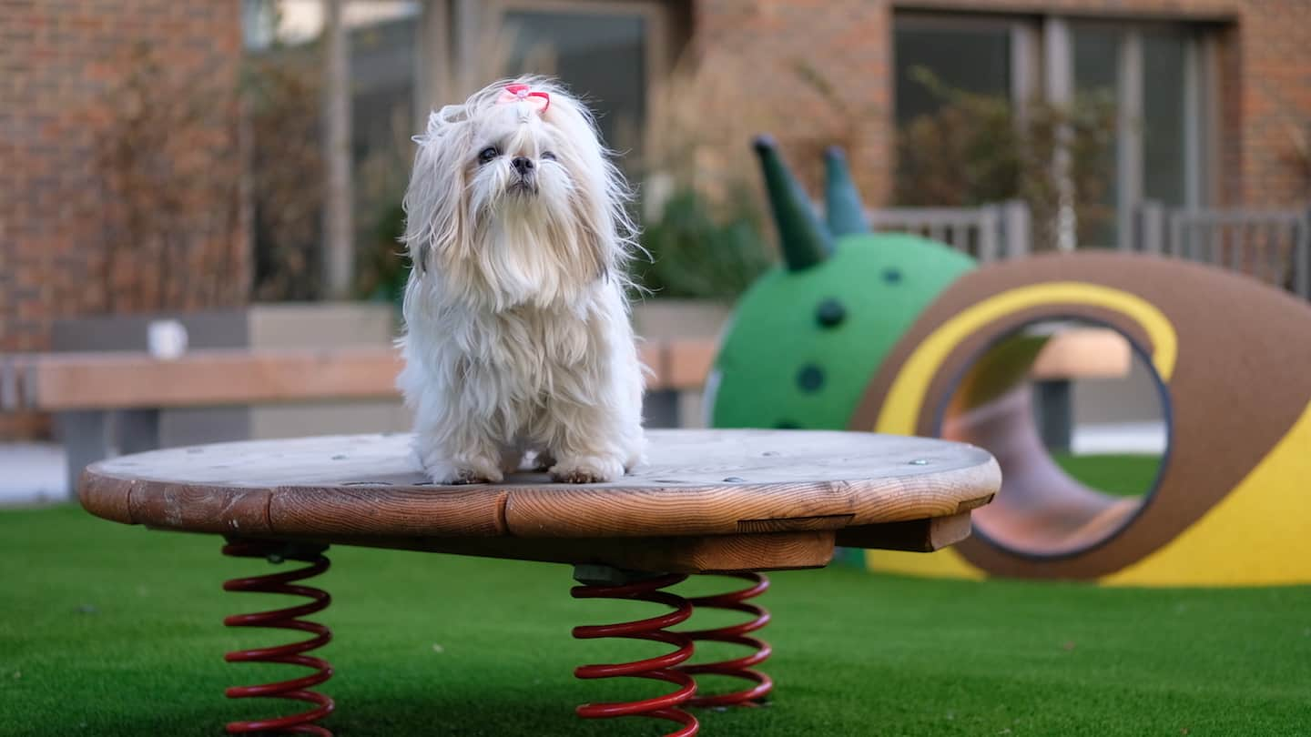 How Renting a Flat With a Dog in London Is Easy with Fizzy Living - Belinha the Shih Tzu