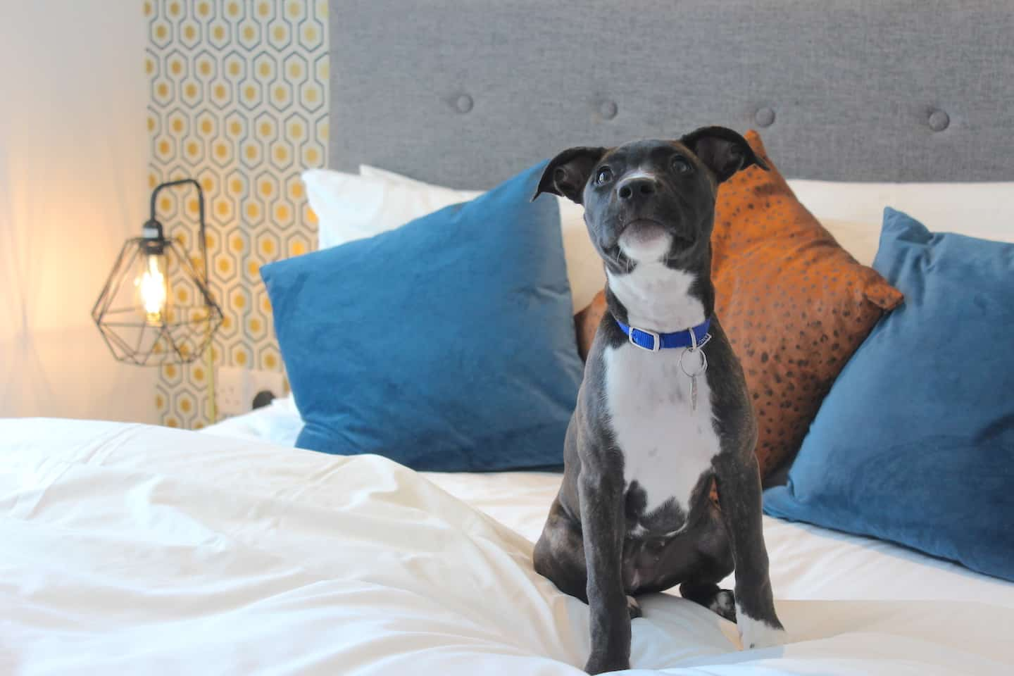 How Renting a Flat With a Dog in London Is Easy with Fizzy Living - Layla the Staffordshire Bull Terrier at Fizzy Living