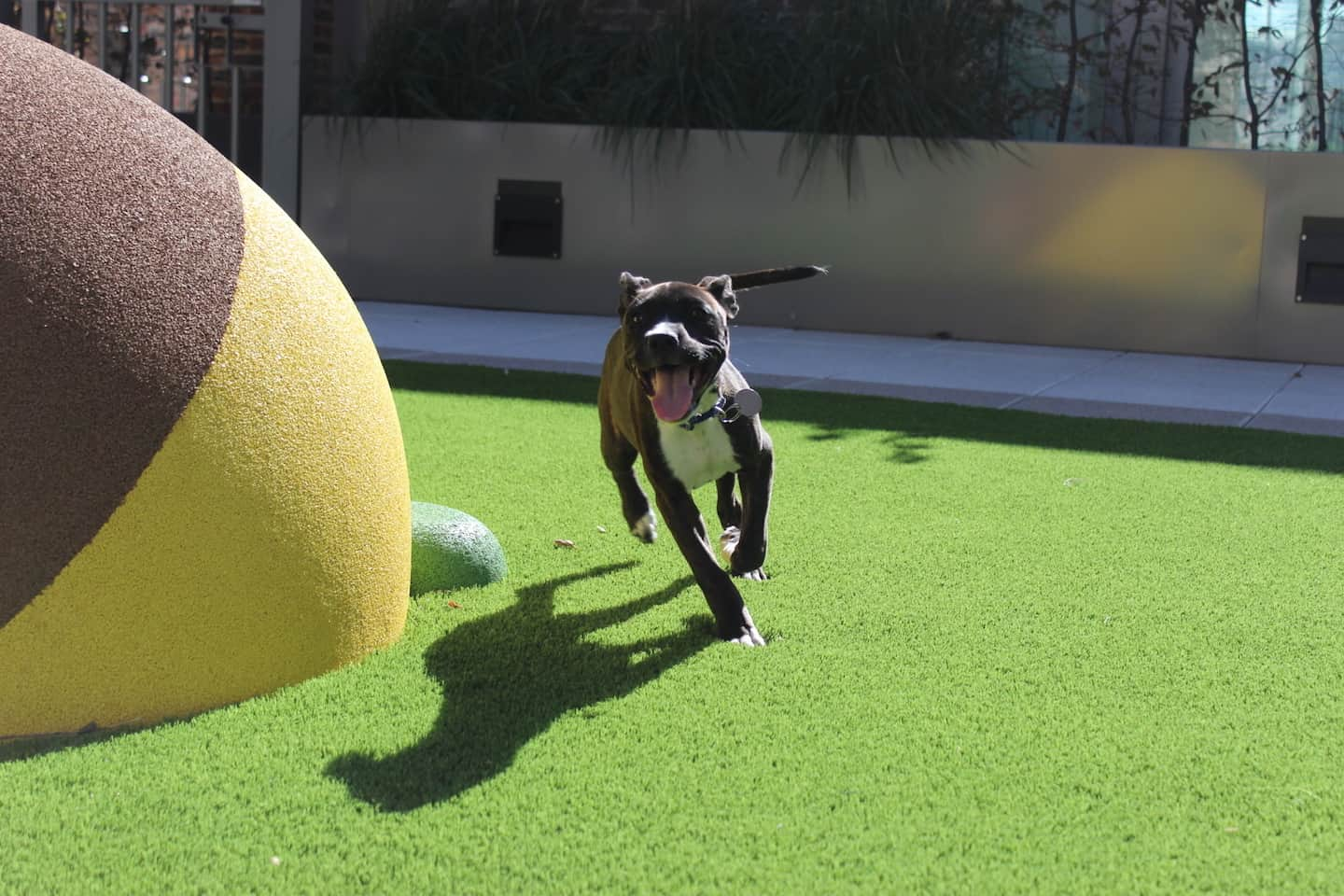 How Renting a Flat With a Dog in London Is Easy with Fizzy Living - Layla the Staffordshire Bull Terrier playing
