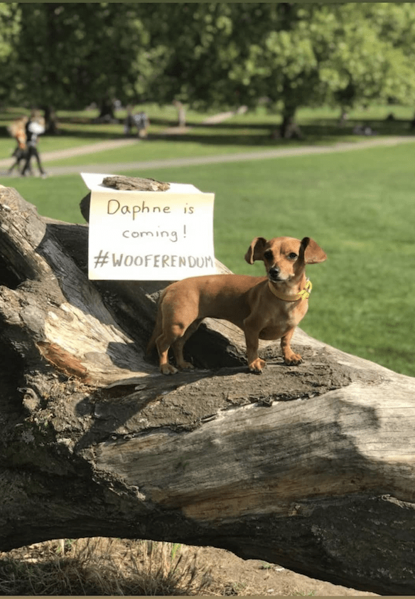 London Dogs To Bark Out Against Brexit on the Wooferendum March - Daphne the Wondersossige