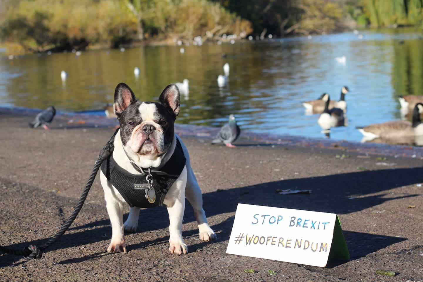 London Dogs To Bark Out Against Brexit on the Wooferendum March - Jedi French Bulldog