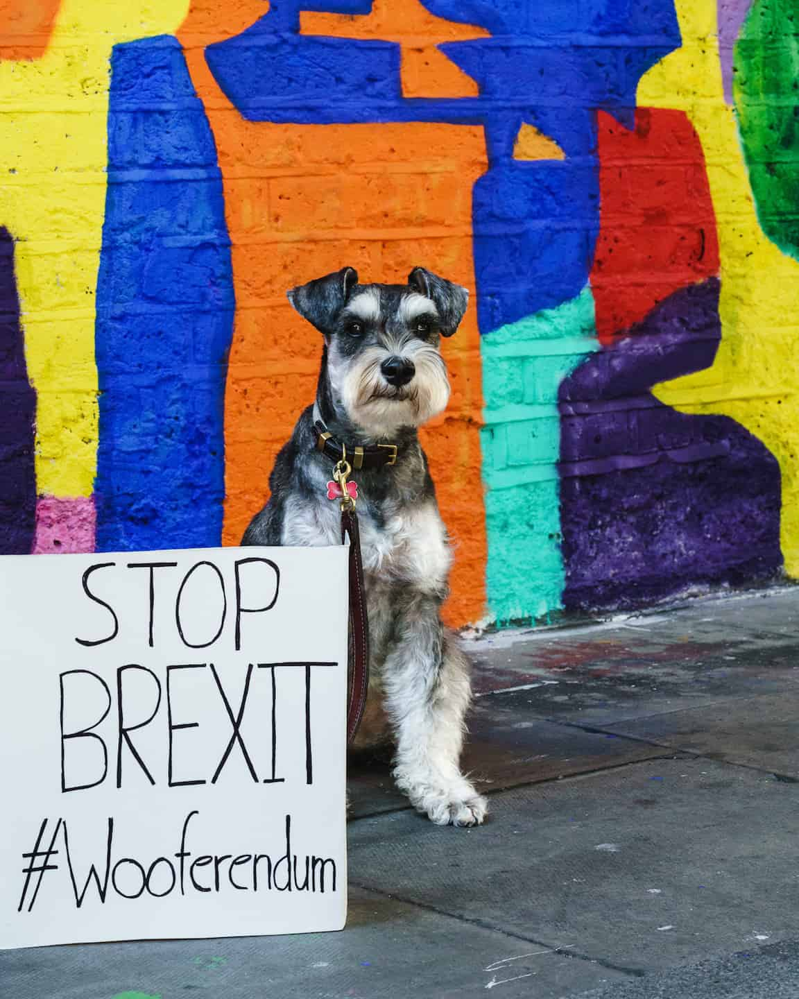 London Dogs To Bark Out Against Brexit on the Wooferendum March - Rusty the Schnauzer