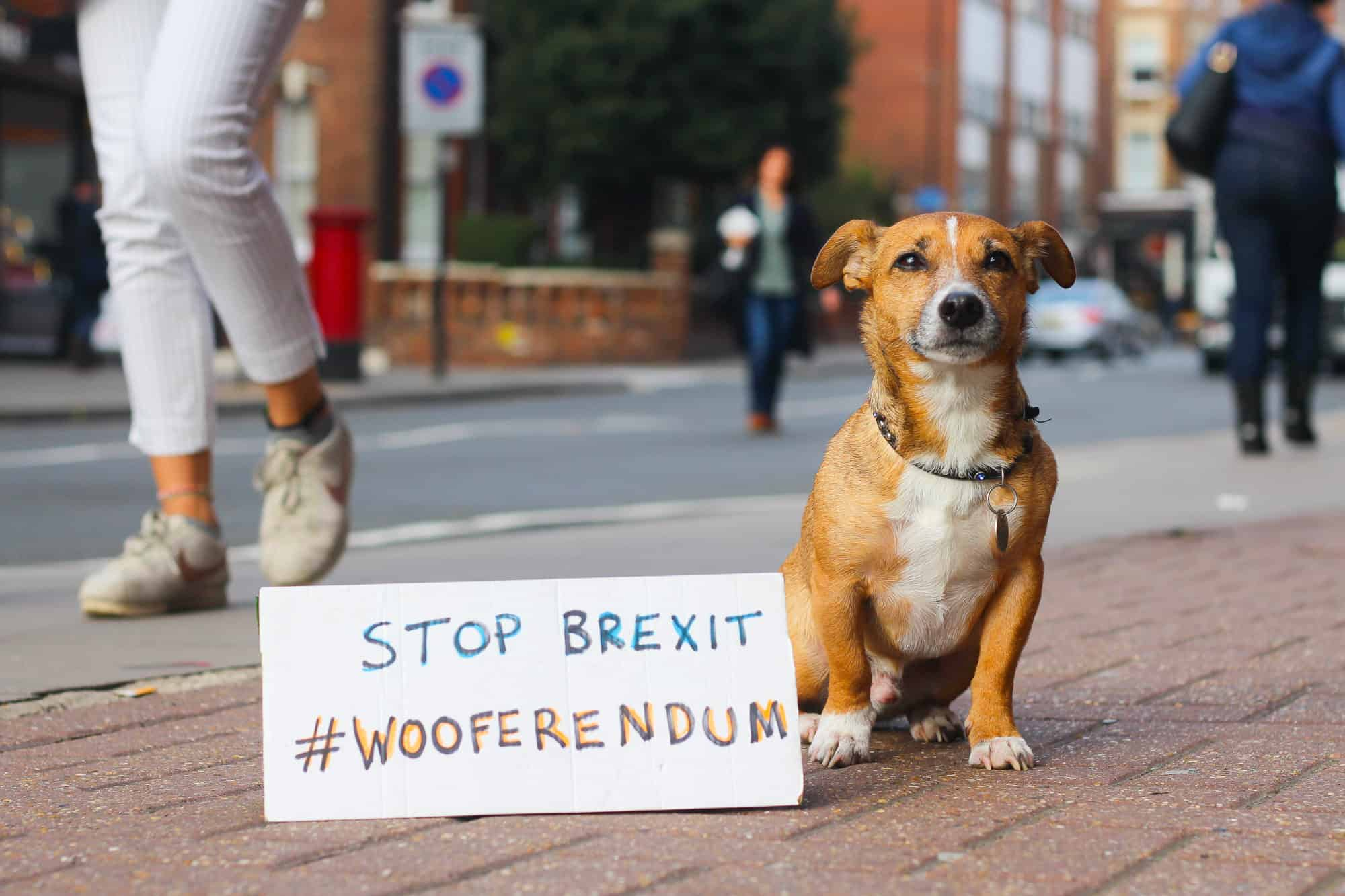 London Dogs To Bark Out Against Brexit on the Wooferendum March - Ziggy Dachshund Mix