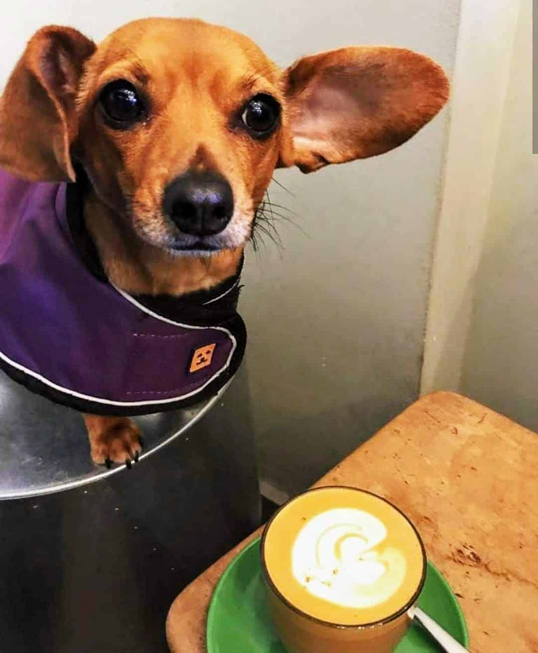 My Dog Friendly London Hammersmith & Fulham Daphne the Sausage Amoret Coffee 2