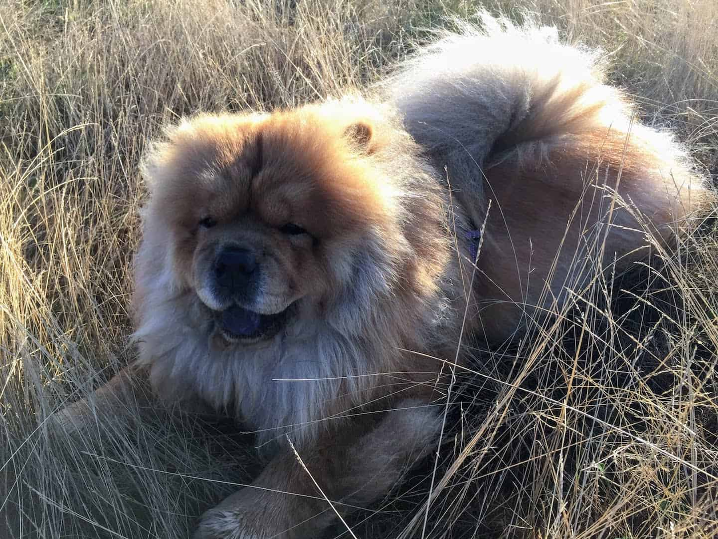 My Dog Friendly London Richmond Clover the Chow Chow 14